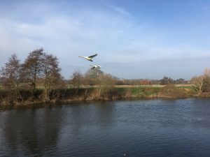 Swans flying over the River Severn at Bevere