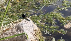 blue dragonfly on rock by the river
