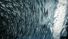 shoal of fish seen from below