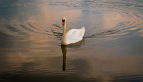 swan gliding on the river in low light
