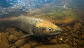 An Atlantic salmon in a fast flowing stream