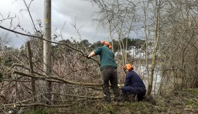 Two people hedge laying