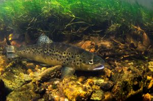 A brown trout lurking in weed