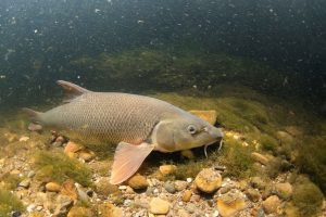 A barbel swimming in dark water