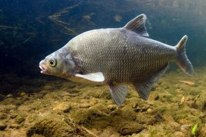 A common bream missing some scales
