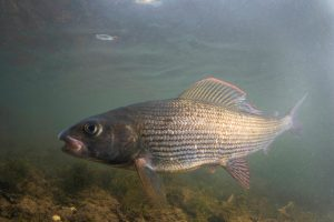 A shiny grayling in a shallow river