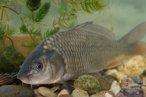 Common carp resting on pebbles