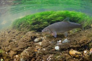 A silver dace swimming through green weed